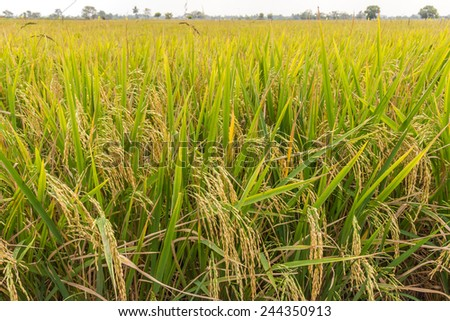 rice field nearly harvest in thailand - stock photo