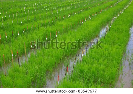 rice field research rice field research - stock photo