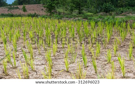 rice field waiting for rainy season - stock photo