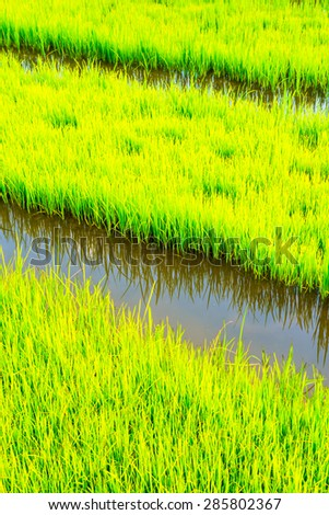 Rice field with small canal, Thailand. - stock photo