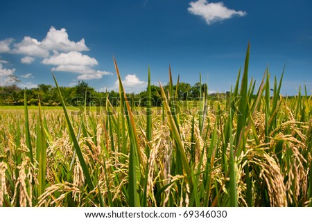 Rice fields and deep blue sky - stock photo