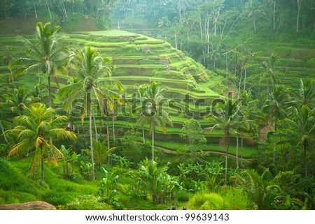 Rice fields in a valley before sunrise on Bali island. - stock photo