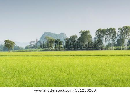 Rice fields in the rainy season - stock photo
