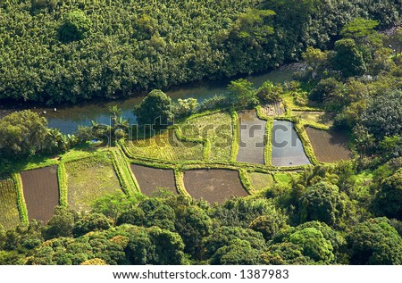 Rice fields in the woods on Kauai Hawaii. More with keyword Series001A. - stock photo