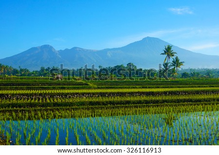 Rice Fields with Mount Rinjani as backgroud at Lombok, Indonesia.                                - stock photo