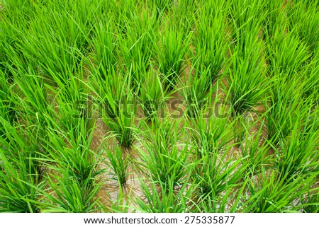 Rice growing on a terrace field. Rice paddy - stock photo