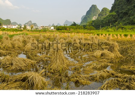 Rice harvest in South Central China - stock photo