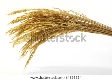 Rice Harvesting a Branch of rice - stock photo