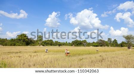 Rice harvesting in Cambodia - stock photo