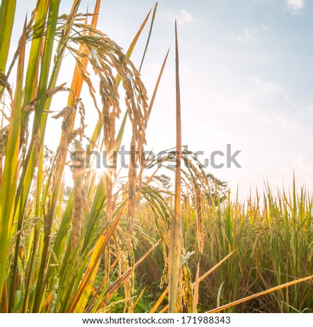 rice in field with sun beam  - stock photo