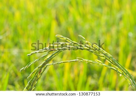Rice in the rice field are close up - stock photo