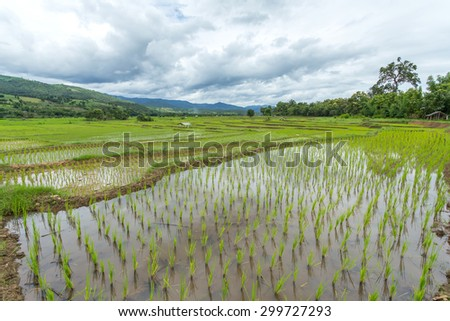 Rice in the rice-growing Central Valley. - stock photo