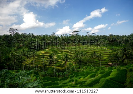 Rice paddies and vegetation in bali with blue sky and clouds - stock photo