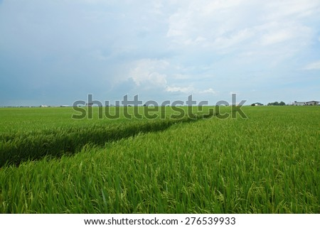 Rice paddy field in Malaysia - stock photo