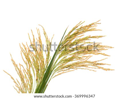 Rice paddy field (Oryza sativa) - stock photo