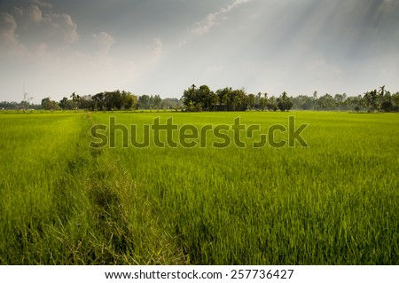 Rice paddy fields Asia farming and agriculture - stock photo