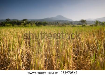 rice paddy ,Thailand - stock photo