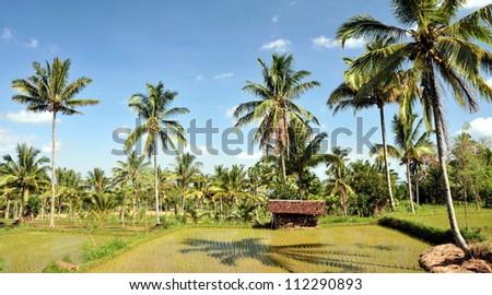 Rice padi - stock photo