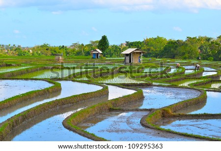 Rice padi field at Bali, Indonesia. - stock photo