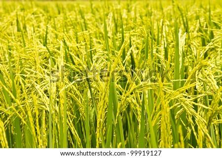 rice plant - stock photo