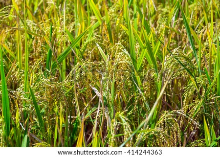 rice plant field - stock photo