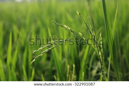 Rice plant in the field - stock photo