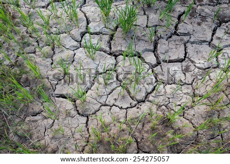 rice plant on crack soil - stock photo