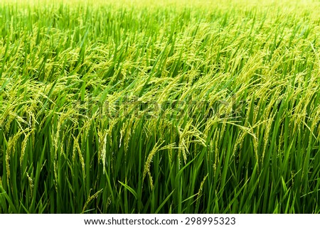 rice plantation - green agriculture field meadow grain farmland water growth farming - stock photo
