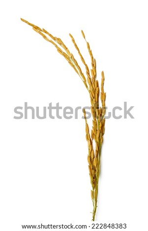 rice stalks on white backgroundd - stock photo