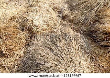 Rice straw background of Thailand. - stock photo