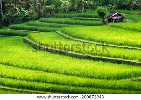 Rice terraces of Bali Island,Jatiluwih, near Ubud,  Indonesia. Asia - stock photo