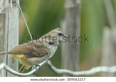 Ricebird a healthy mouth, the mouth cape short pull the pecking insects. Then figure out the different plants from grains to eat meat. It was also used tear the grass, palm leaf variety. - stock photo