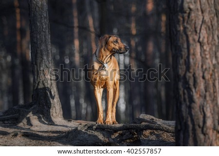 Ridgeback dog in the forest - stock photo
