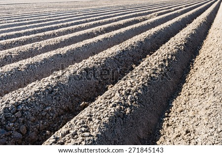 Ridges of just seeded potatoes from close early in the morning in the spring season. - stock photo