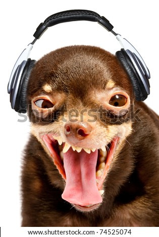Ridiculous dog DJ. Russian toy-terrier. - stock photo