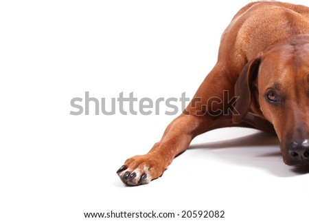 right half of rhodesian ridgeback over white background, copy space on the left - stock photo