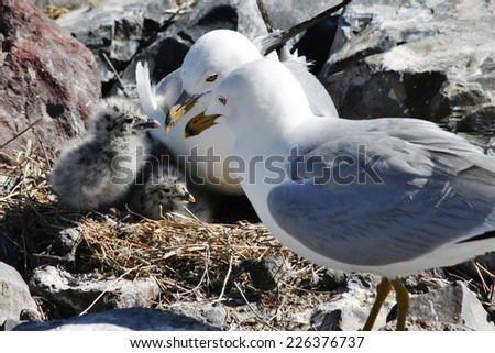 Ring Bill Gull Family  - stock photo