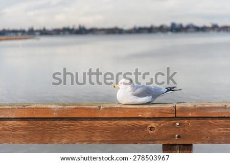 Ring-billed gull at San Leandro Bay in Oakland, California. - stock photo