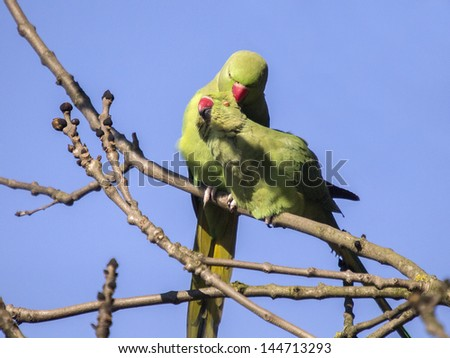 ring-necked parakeet  in love  - stock photo