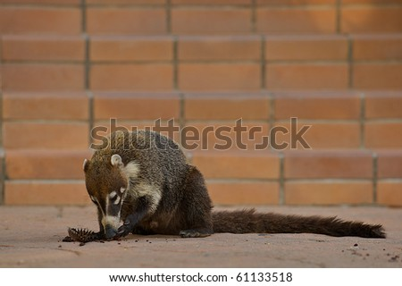 Ring-tailed Coati (Nasua nasua), a native mammal of Central and South America, acting as a scavanger while eating a cupcake dropped by a tourist. - stock photo