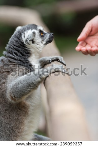 ring-tailed lemur - stock photo