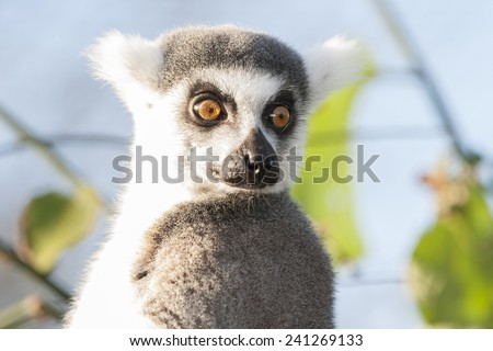 Ring-tailed lemur are highly social living in large groups lead by a dominant female. Conservation status Endangered - stock photo