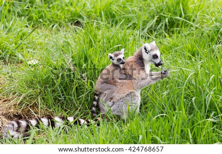 Ring tailed lemur carrying young on her back - stock photo