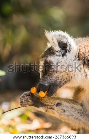 Ring-tailed lemur eats berries on the ground in Madagascar, Africa - stock photo