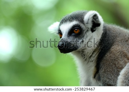 Ring-tailed lemur face close-up  - stock photo
