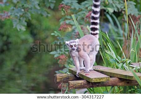 Ring-tailed lemur (Lemur catta) - stock photo