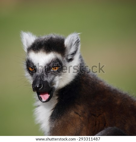 Ring-tailed Lemur licking its face - stock photo