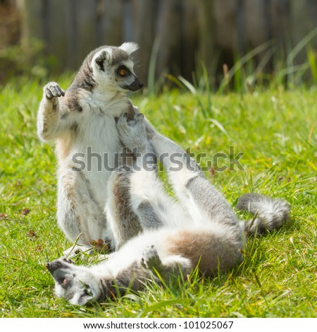 Ring-tailed lemur playing (Lemur catta) in a dutch zoo - stock photo