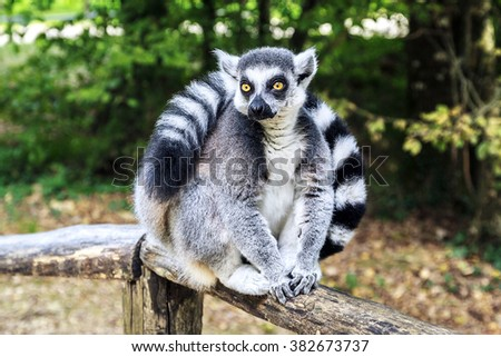 Ring-tailed lemur sitting in the park. - stock photo