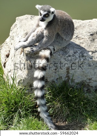 Ring-Tailed Lemur sitting on rock in sun. - stock photo